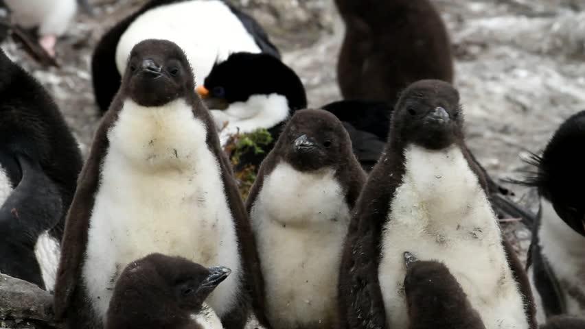 Rockhopper penguin baby - HD stock footage clip