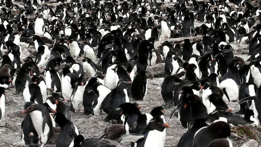 Rockhopper penguin colony - HD stock video clip