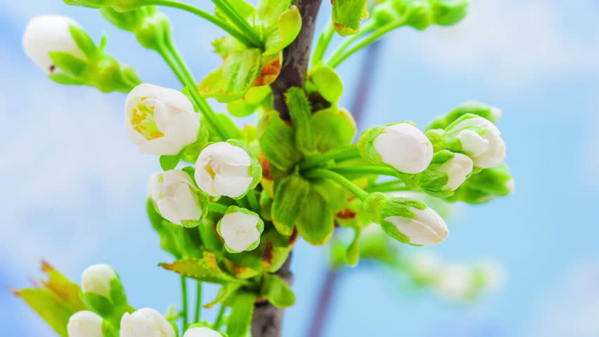 Cherry flower blooming in a time lapse Hd 1080 video./Cherry Flower Blossoming Time Lapse - HD stock footage clip