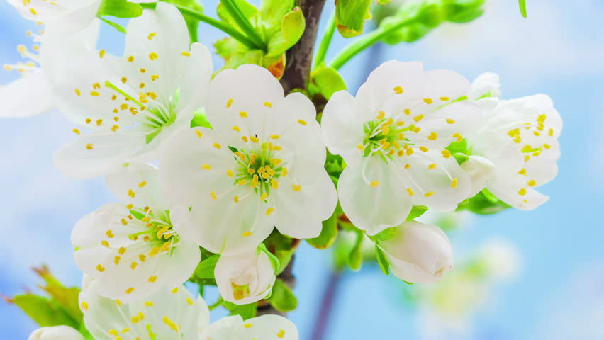 Cherry flower blooming in a time lapse Hd 1080 video./Cherry Flower Blossoming Time Lapse