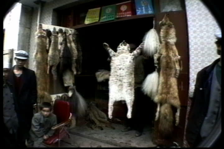XINING, TIBET - SEPTEMBER 13, 1992: Animal pelts hanging in entrance to market stall, camera zooms inside to pile of snow leopard skins on floor.