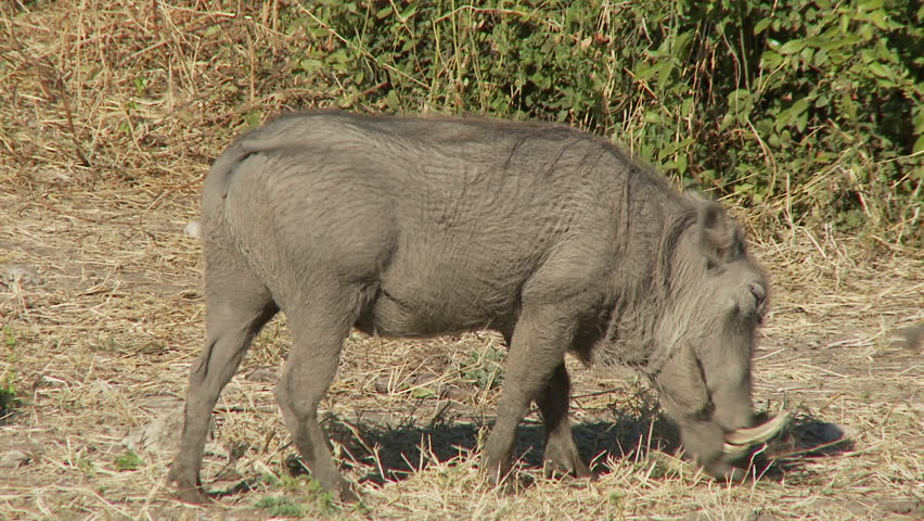 Two warthogs feed side by side - HD stock footage clip