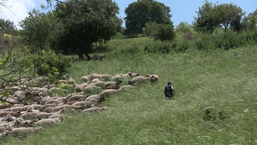 Sheep, goats, shepherd - HD stock footage clip