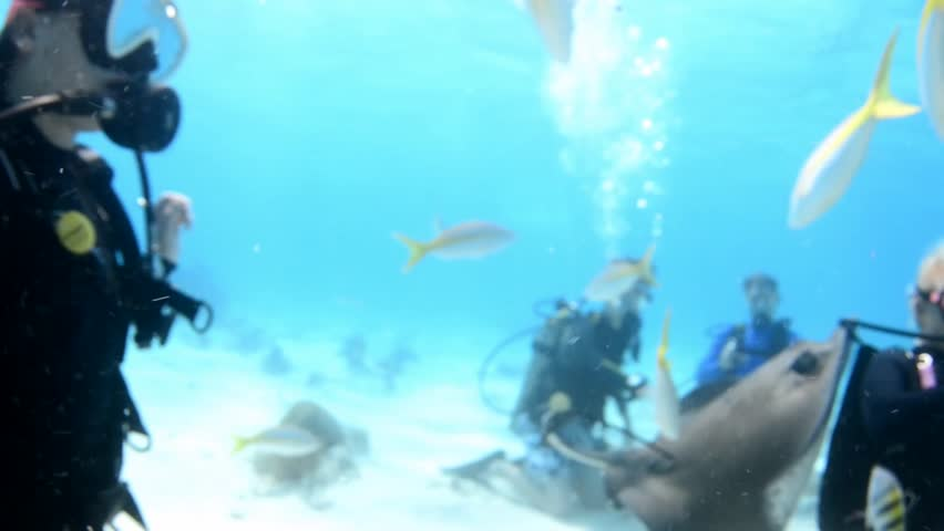 Scuba divers feeding Southern sting rays at Stingray City, Grand Cayman, Cayman Islands. Sting rays fly over camera and around divers. - HD stock footage clip