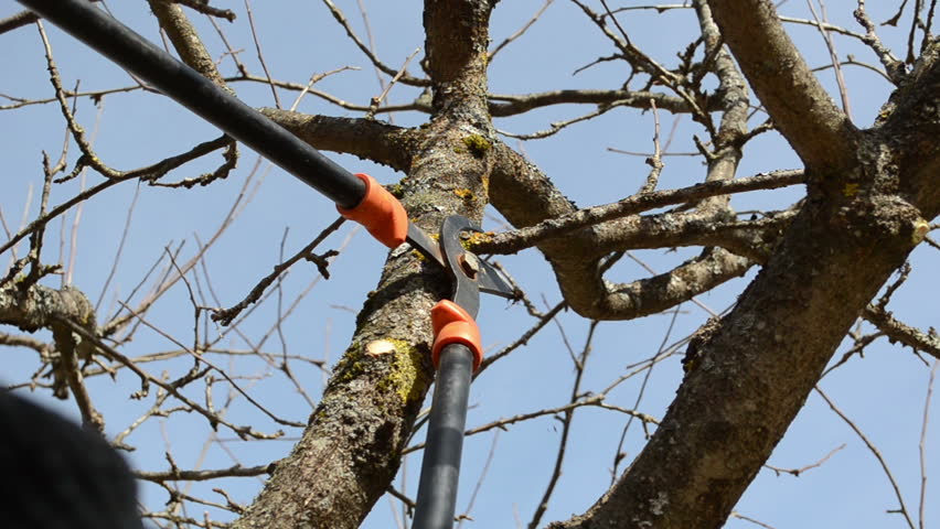 fruit tree cut trim prune with two handle clippers scissors in spring garden on background of blue sky. - HD stock video clip