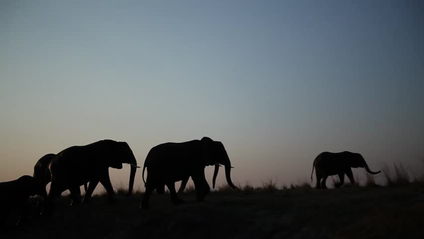 Large herd of African elephants silhouetted and walking along river bank