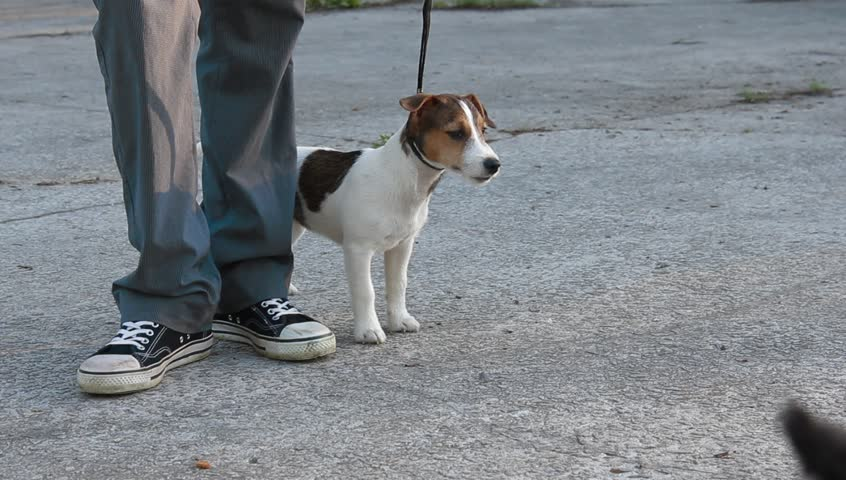 Jack Russell Terrier  in a park - HD stock video clip
