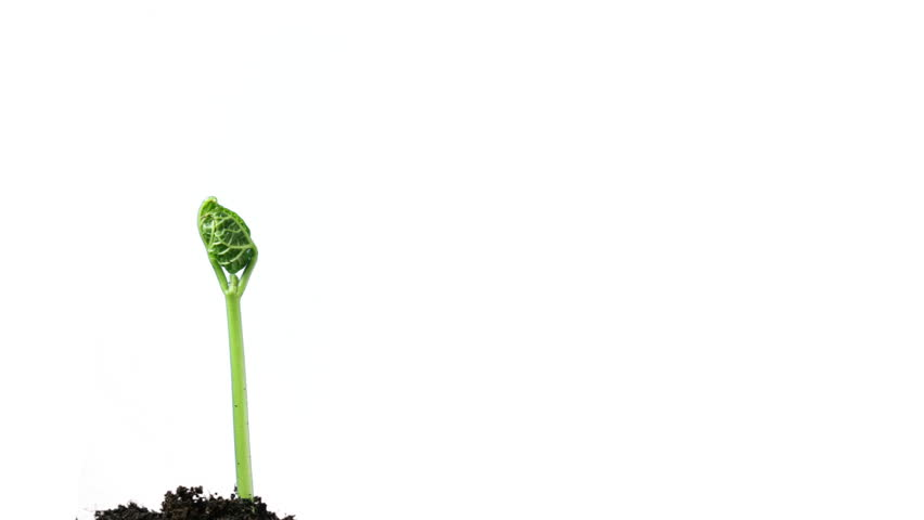 plant growing isolated on white timelapse