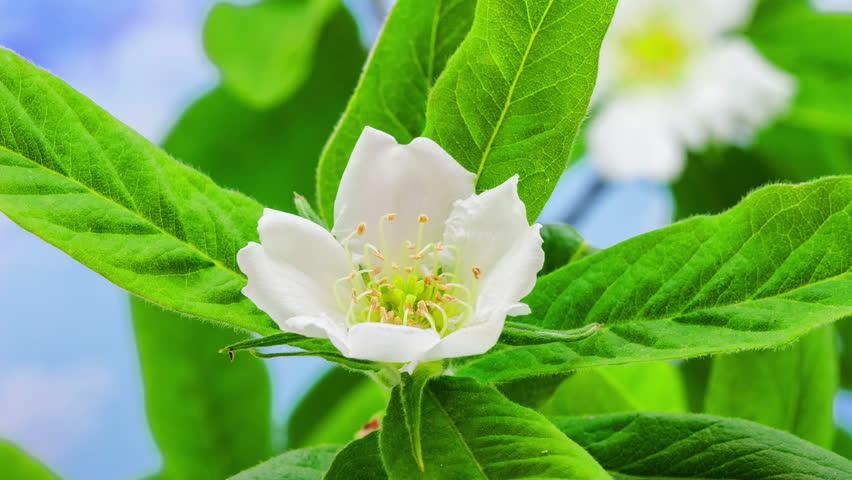 Timelapse video of a medlar flower blossoming on a blue backgroundMedlar Blossoming