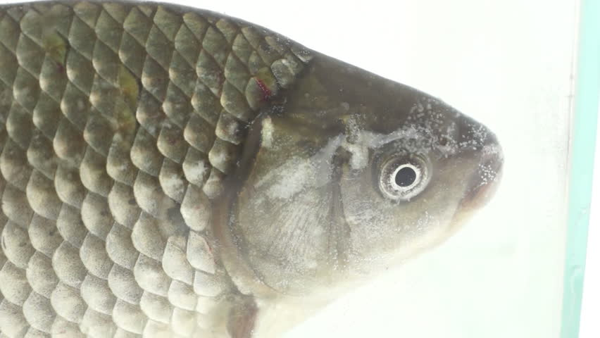 Crucian carp definition meaning for What does carp mean