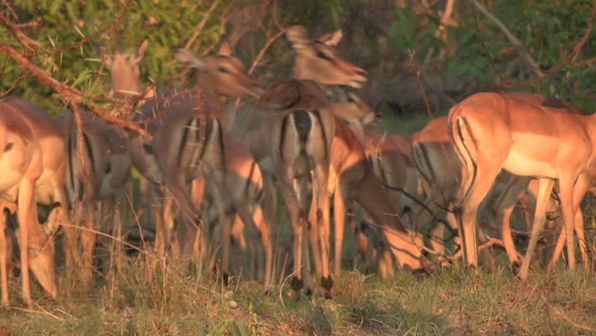 impala herd - HD stock video clip