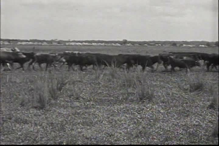 1910s - Ranchers in the American West herd cattle and have a rodeo in 1919. - SD stock footage clip