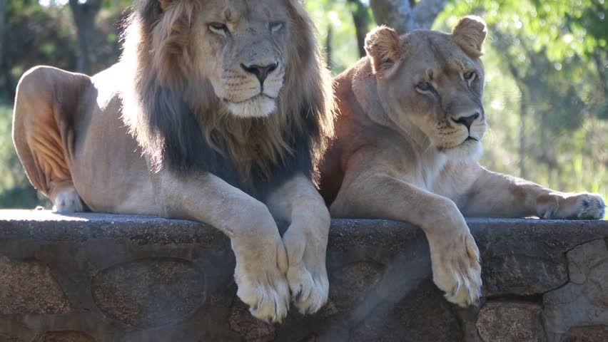 Lion In the Lion and Chitaah Park in Zimbabwe in Africa - HD stock footage clip