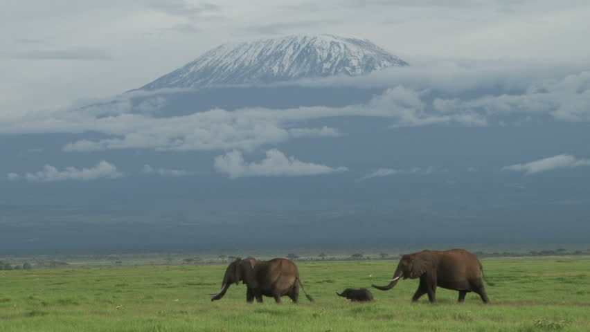 two elephants and a baby walk past heading to the swamp with kilimanjaro in the