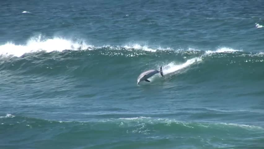 A dolphin jumps out of a wave in Sydney Australia