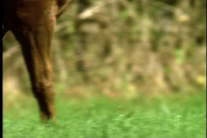 Legs of horse as it begins to gallop in slow motion, tilt up to head and mane blowing on wind. - SD stock video clip