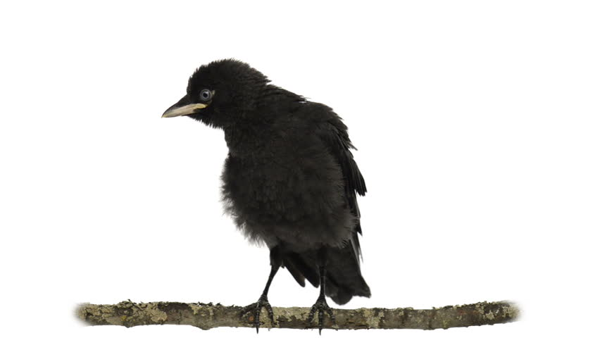 Young western jackdaw perched on a branch - HD stock footage clip