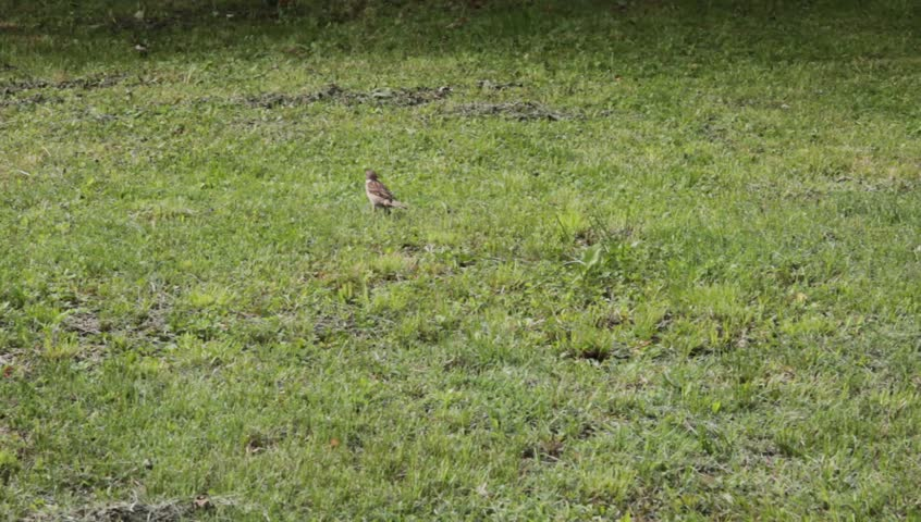 Sparrow - HD stock video clip