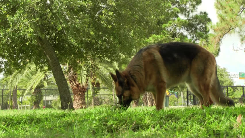 A German shepherd dog lifts up his leg and pees | Shutterstock HD Video #4099315
