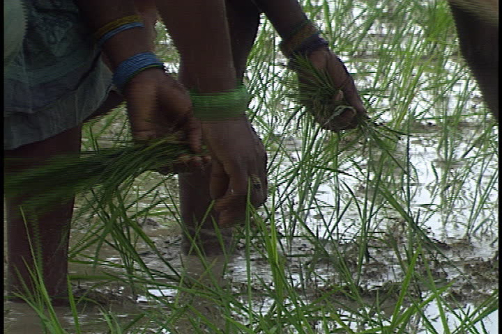 Sultanpur India  city photos gallery : SULTANPUR, INDIA JULY 28, 1999: Women in flooded rice field planting ...