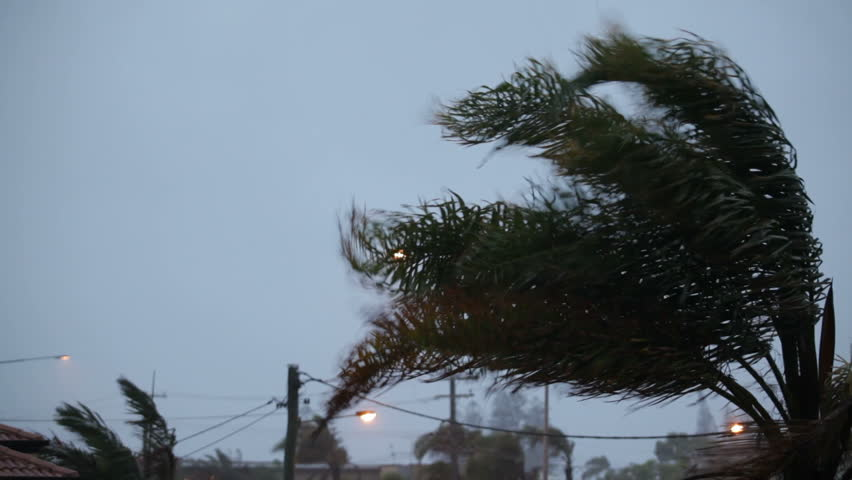 Palm tree in cyclonic wind