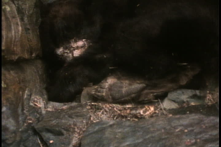 Hibernating black bear, curled up in its den. - SD stock video clip