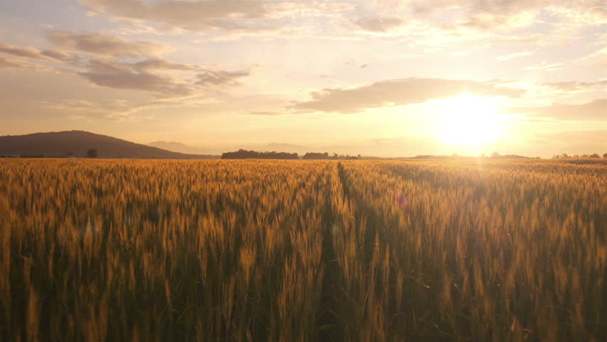 AERIAL: Flight over the wheat field in sunset | Shutterstock HD Video #4190908