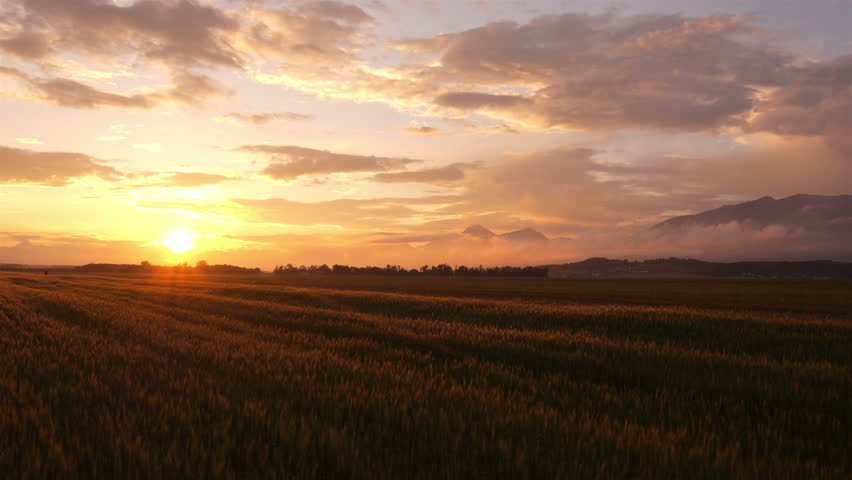 AERIAL: Flight over the wheat field in sunset