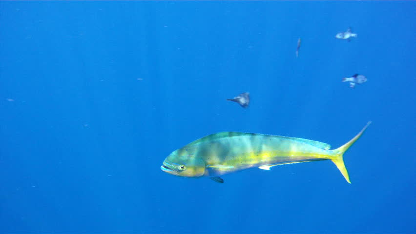 Mahi mahi underwater 1080 hd footage of saltwater game for Atlantic game fish