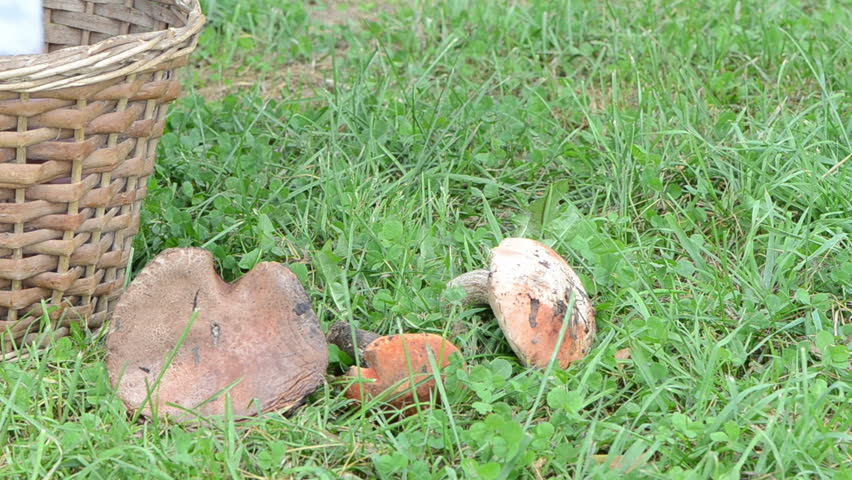 man hand take pick red cap mushrooms from wicker basket and put lay on green grass.