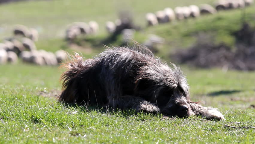 Sheepdog guarding the herd of sheep - HD stock footage clip