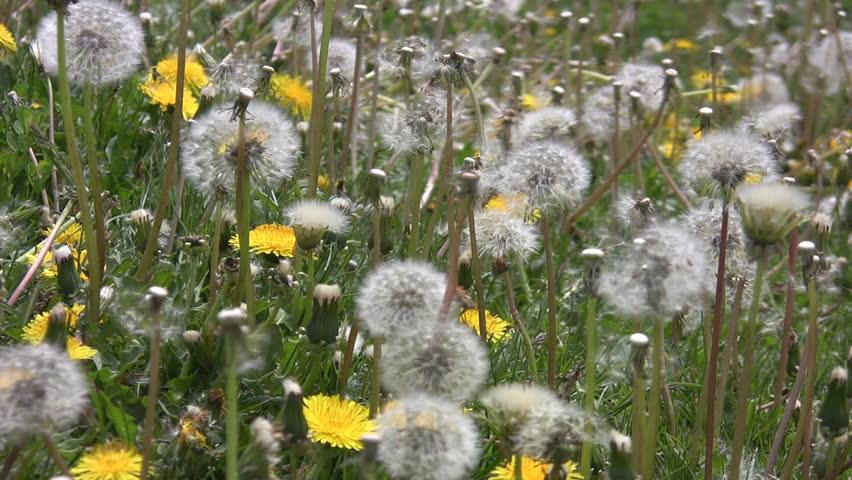 Dandelions in the breeze.  - HD stock video clip