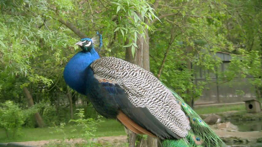 Peacock prinking, HD  - HD stock video clip