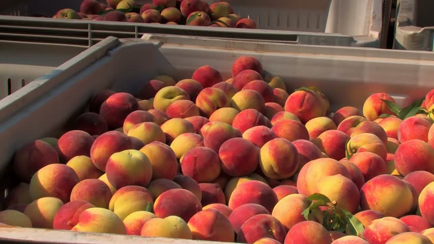 Fresh picked peaches ready for transport to processing facility. Pan right - HD stock video clip