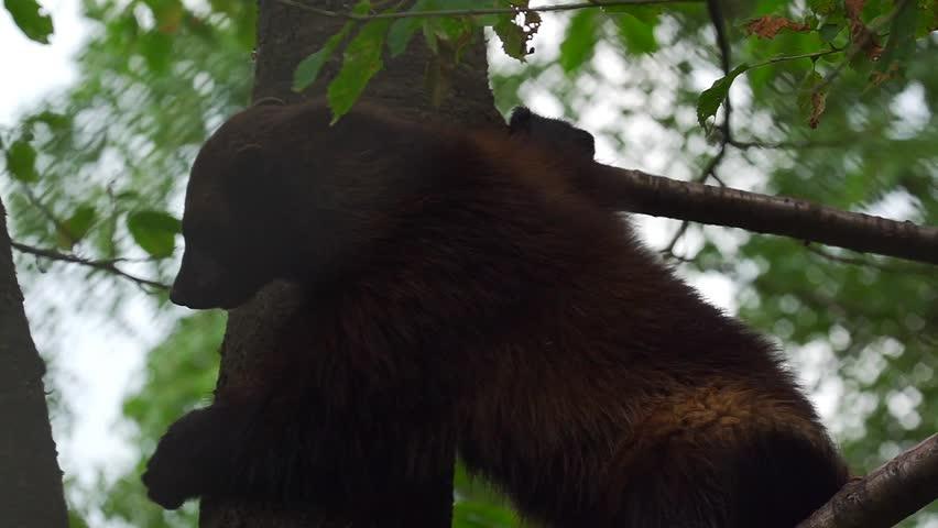 Header of wolverine