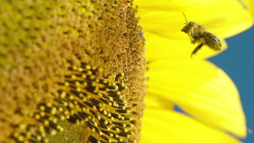 Bee working on Sunflower in slow motion, blue sky and sunny weather