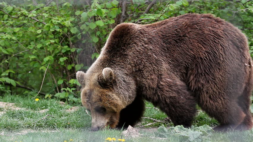 Huge brown bear looking for food in green forest