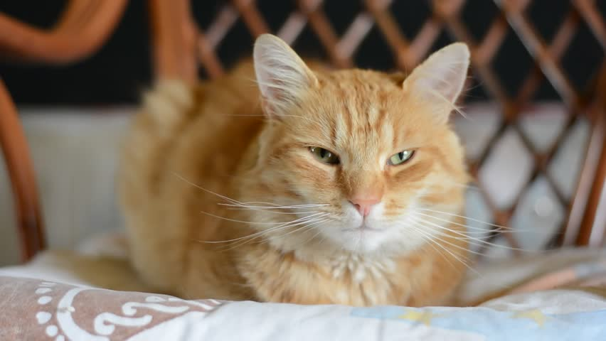 cute cat  - HD stock footage clip