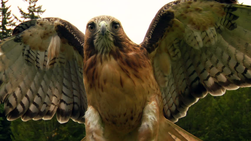 Hawk/Eagle opens wings and flaps.