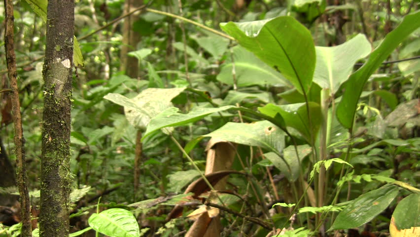 Pan to cocoa pod in the Ecuadorian Amazon - HD stock footage clip
