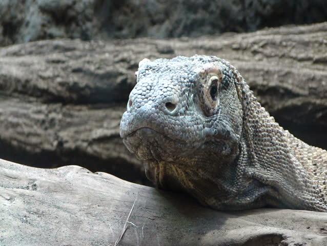 Komodo Dragon - Monitor Lizard [Varadus Komodoensis ...