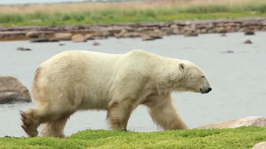Canadian Polar Bear walking along the shore of the Hudson Bay near Churchill, Manitoba, in summer, including a second bear on the breakwater in the background
