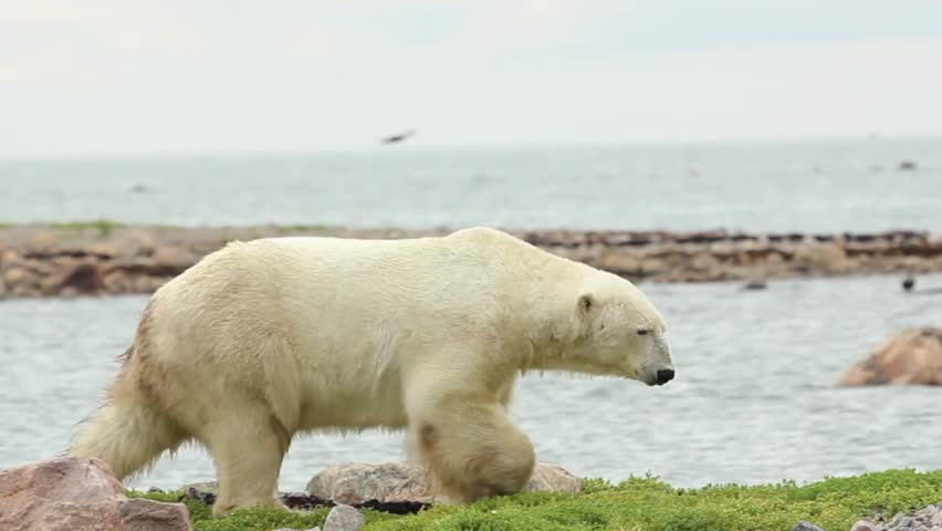 Canadian Polar Bear walking along the shore of the Hudson Bay near Churchill, Manitoba, in summer, complete movement, long clip, including a second bear on the breakwater