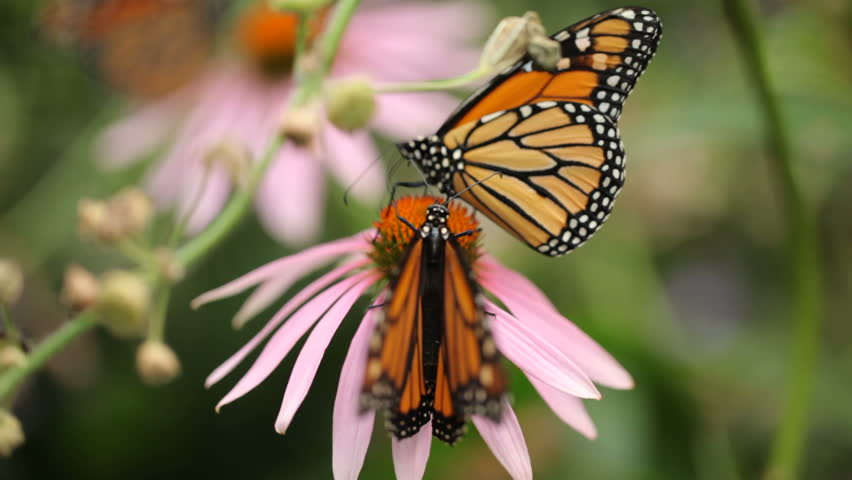 Monarch Butterflies on Echinacea Flowers, rack focus - HD stock footage clip