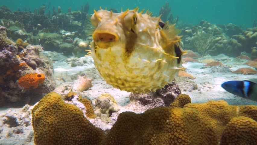 Bridled burrfish deflating in a coral reef with starfish, Caribbean sea, Panama
