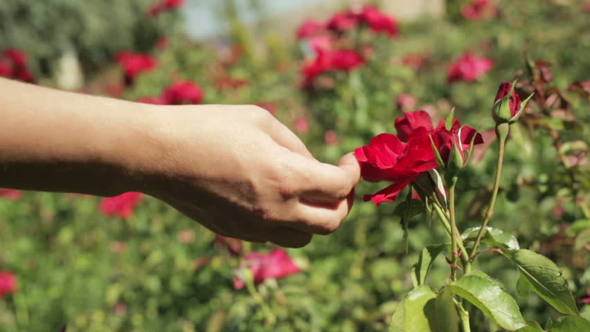 hand touching and caressing a red rose flower in a field of roses