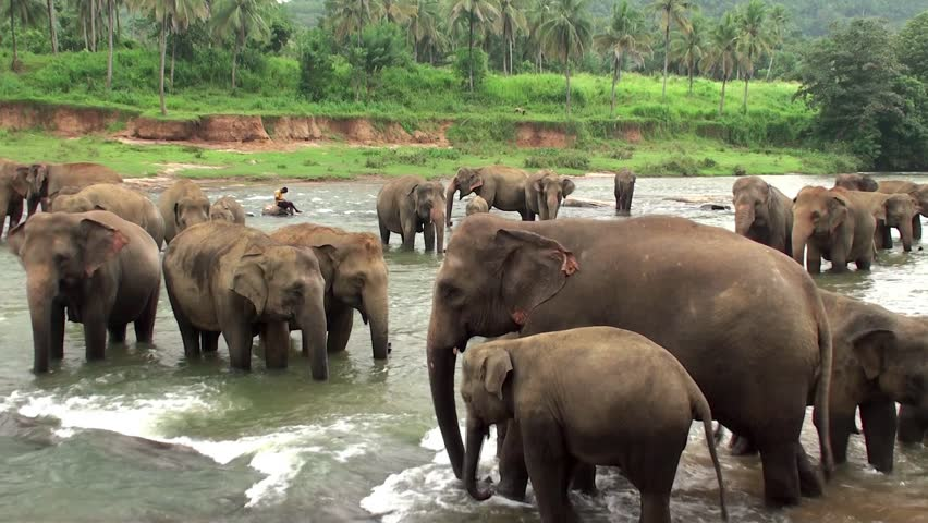 PINNAWALA, - AUGUST 12: Mahout with the elephants at the river. August 12, 2013 in Pinnawala Elephant Orphanage, Kegalle, Sri Lanka