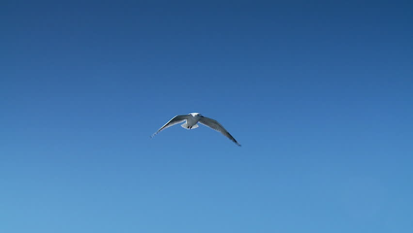 Sea Gulls, Seagulls Flying in Blue Sky - HD stock footage clip