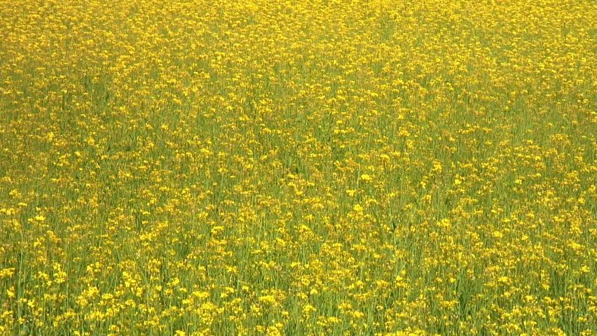 Closeup of a rapeseed field  - HD stock video clip