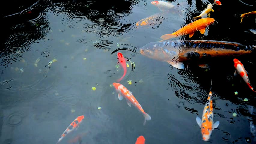 Soak water and rainfall rain drops fall forming big air for Koi pond bubble
